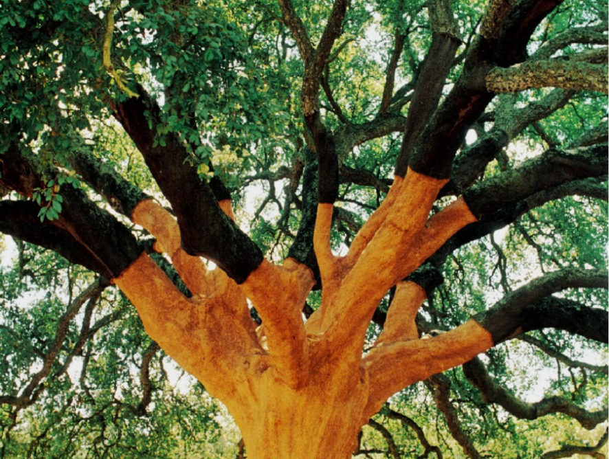 Самый старый пробковый дуб